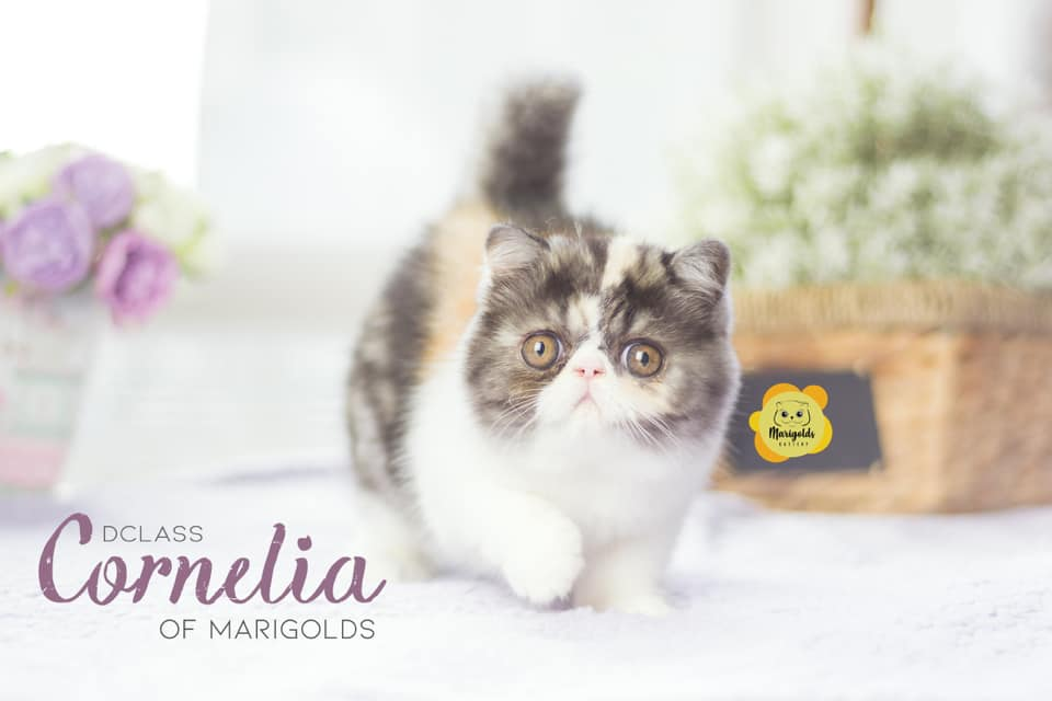 Dclass Cornelia of Marigolds, gata exótico, black smoke tortie/white