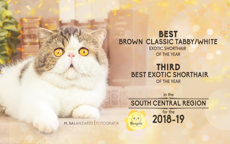 Dclass Macedonio, best brown classic tabby-white exotic shorthair, 01