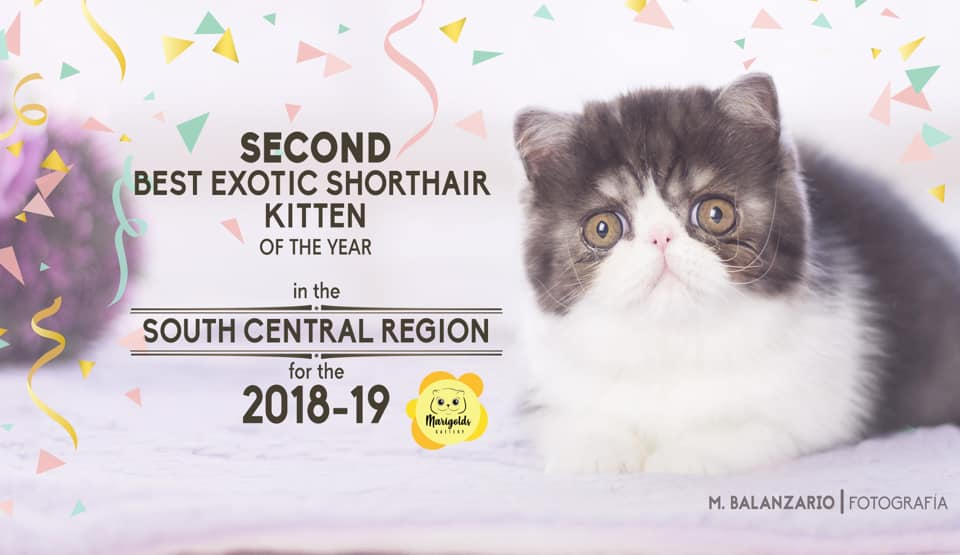 Dclass Makeba, 2nd best exotic shorthair kitten, 01