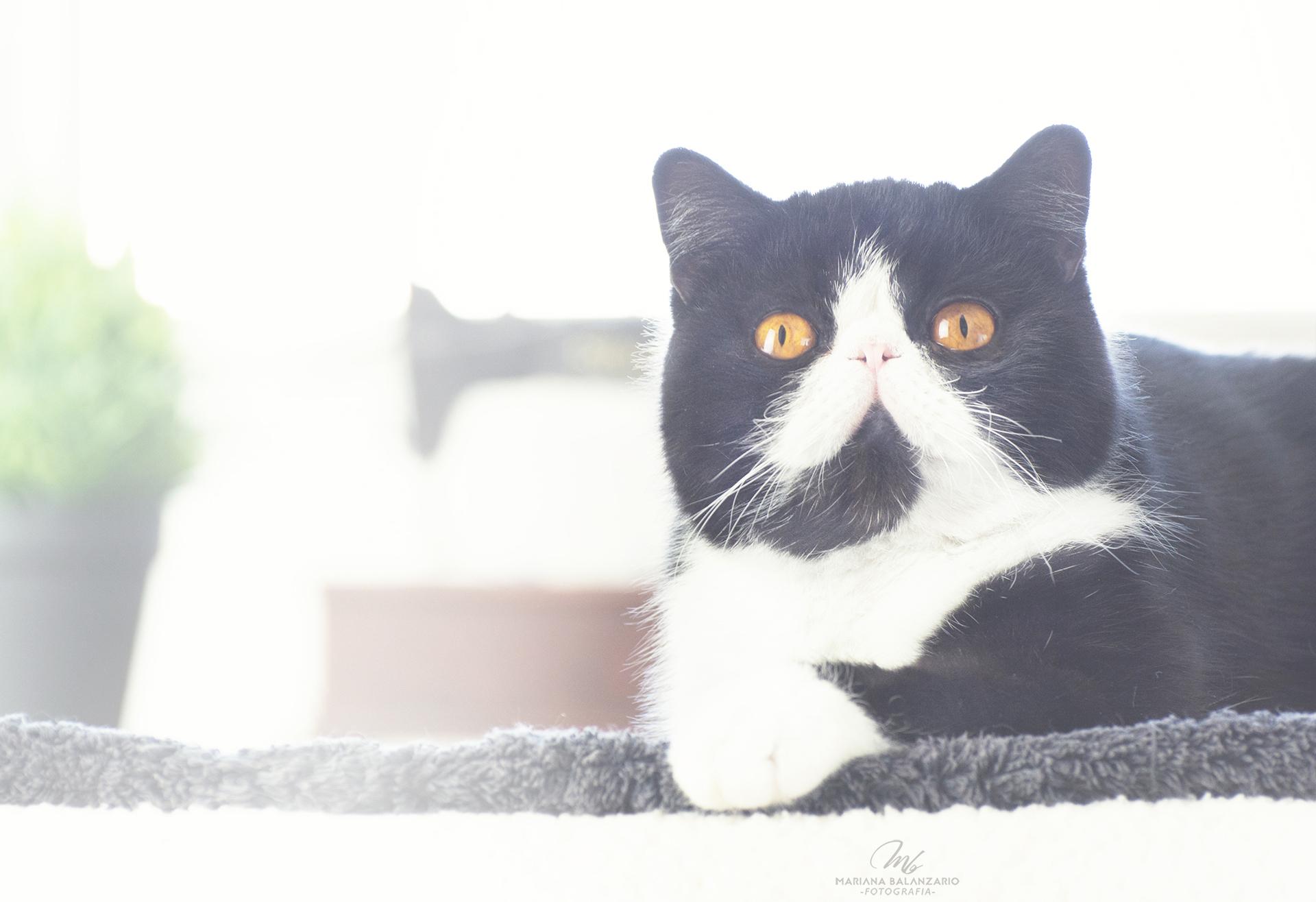 Gata exótico negro con blanco