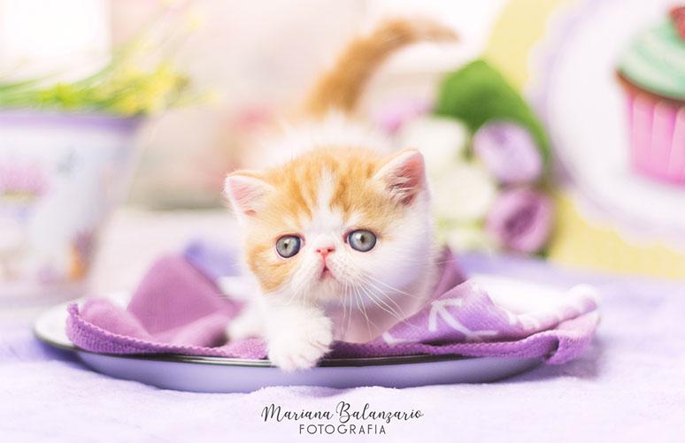 Marigolds Mangolo, gato exótico, red van