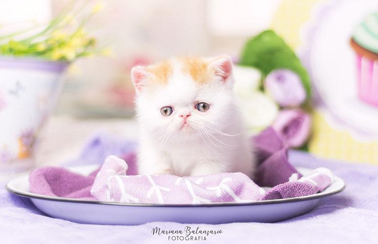 Marigolds Tabanuco, gato exótico, red van