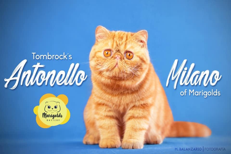 Tombrock's Antonello Milano of Marigolds, 01