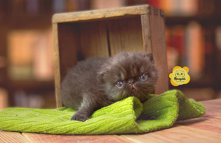 Marigolds Turín, un gato exótico, black