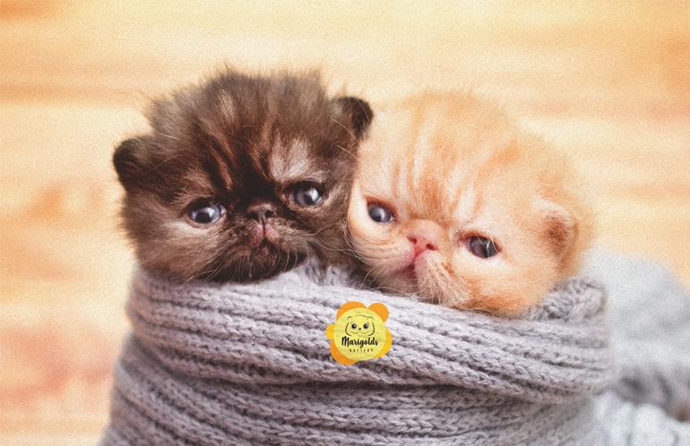 Marigolds Verona & Marigolds Lucca, una gatita y un gatito exóticos