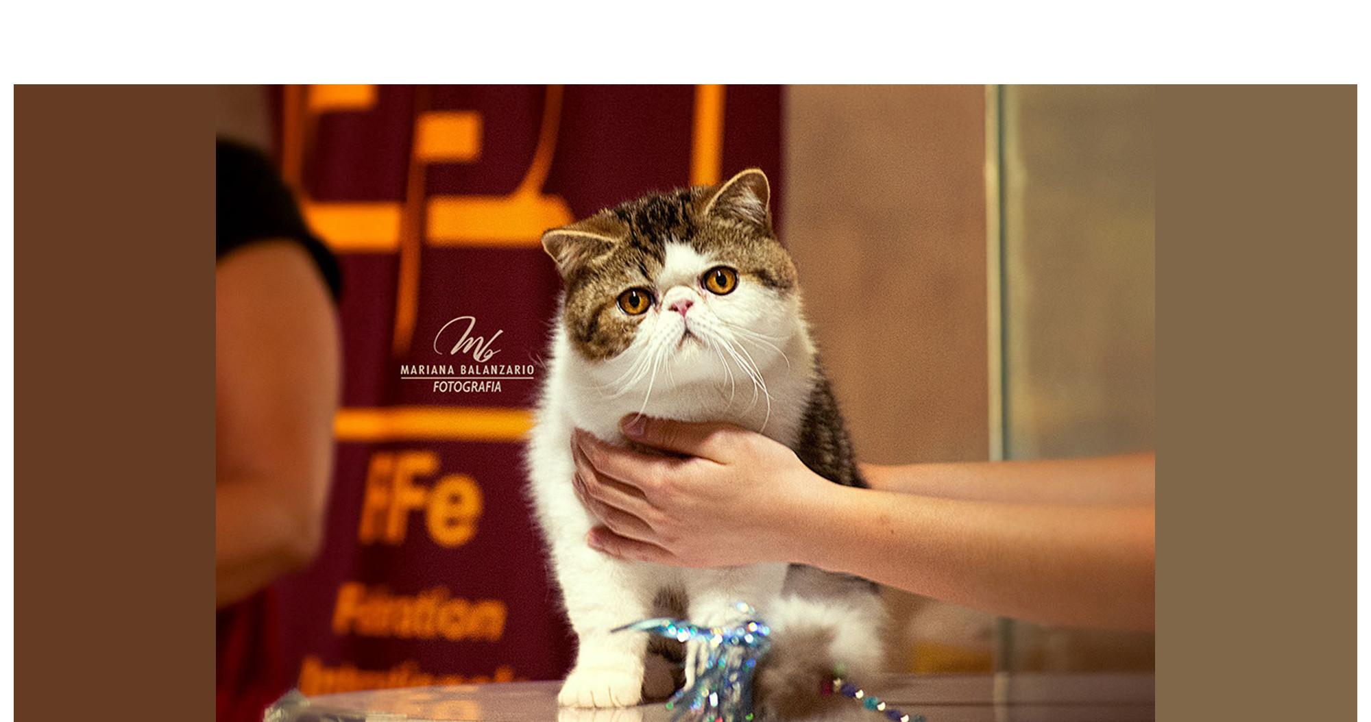 Un gato exótico, sostenido en brazos