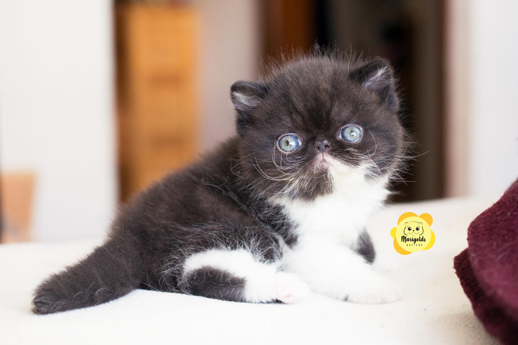 Gato exótico cachorro negro con blanco