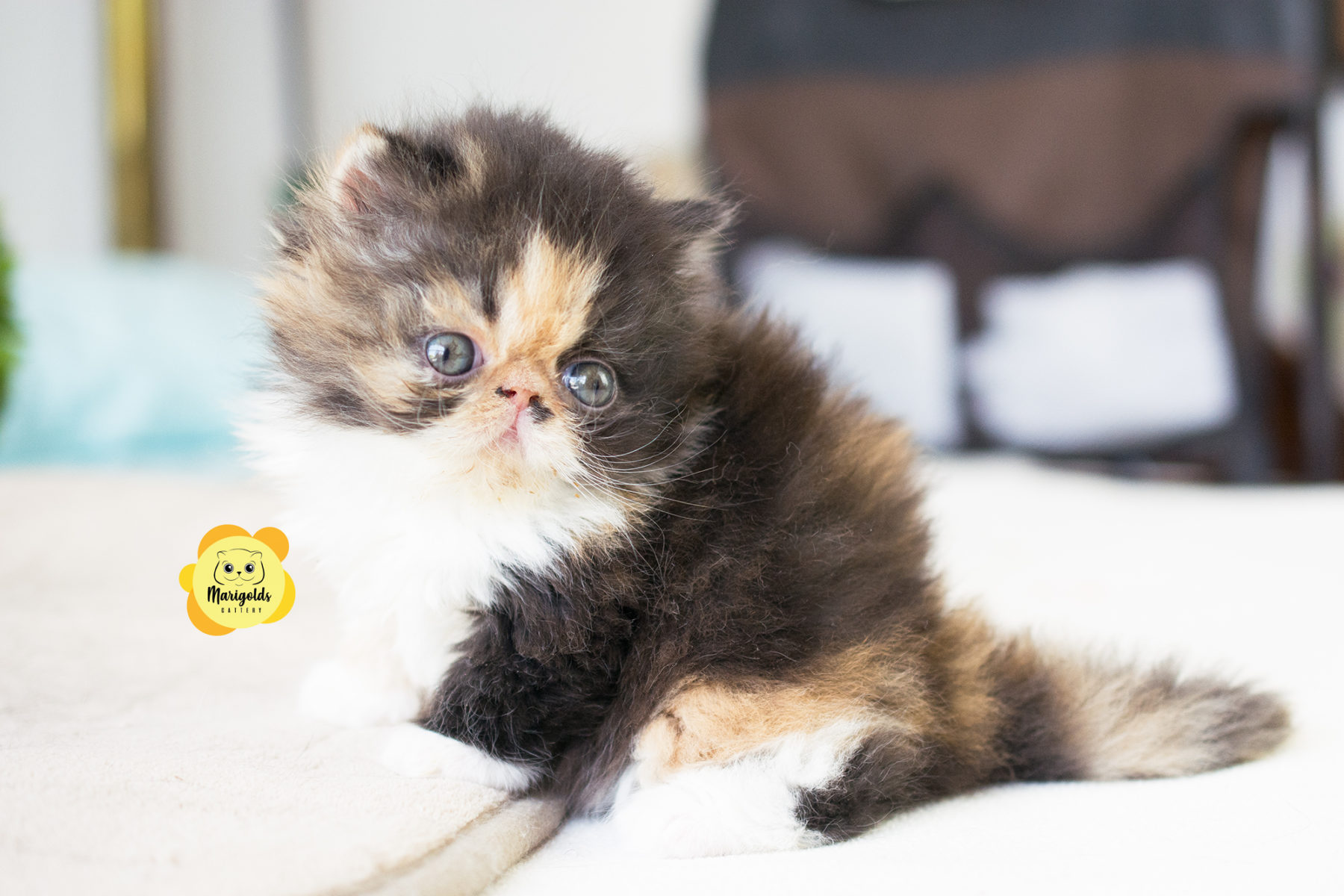 Gato persa cachorro calicó