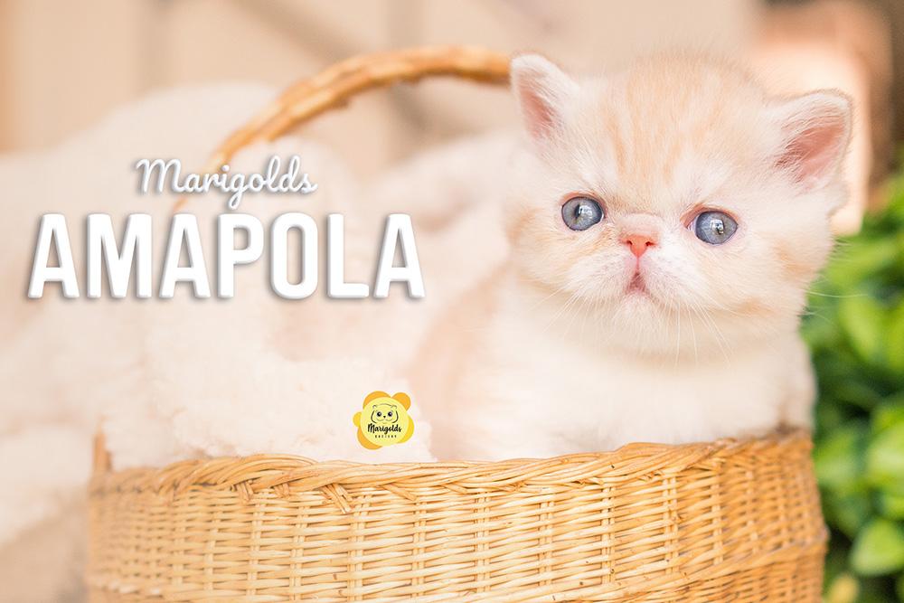 gatita exótica crema con blanco