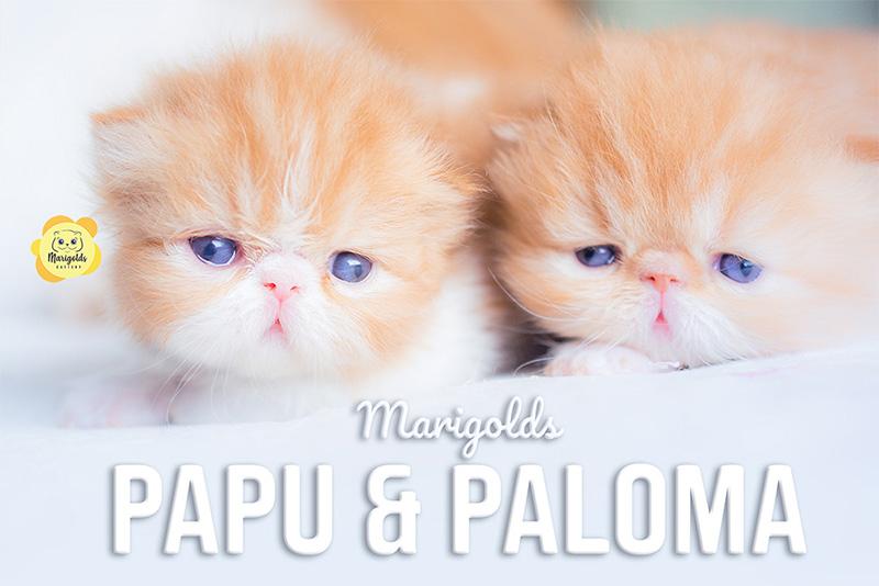 gatita gatitos persas rojo con blanco