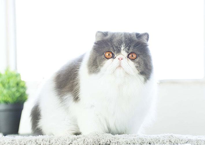 Dclass Renato of Marigolds, gato persa, blue/white