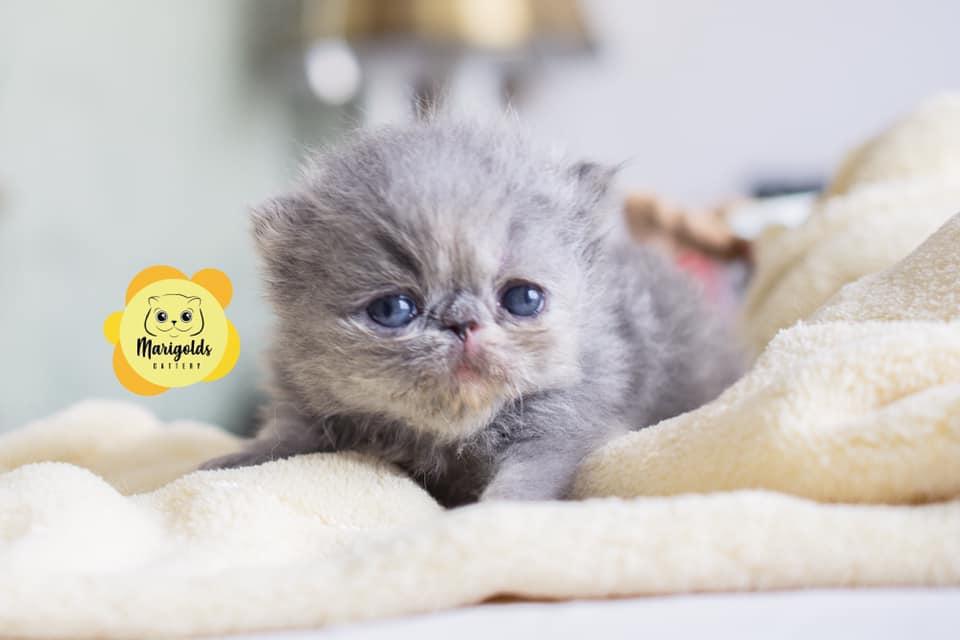 Marigolds Lauriano, gato persa, blue