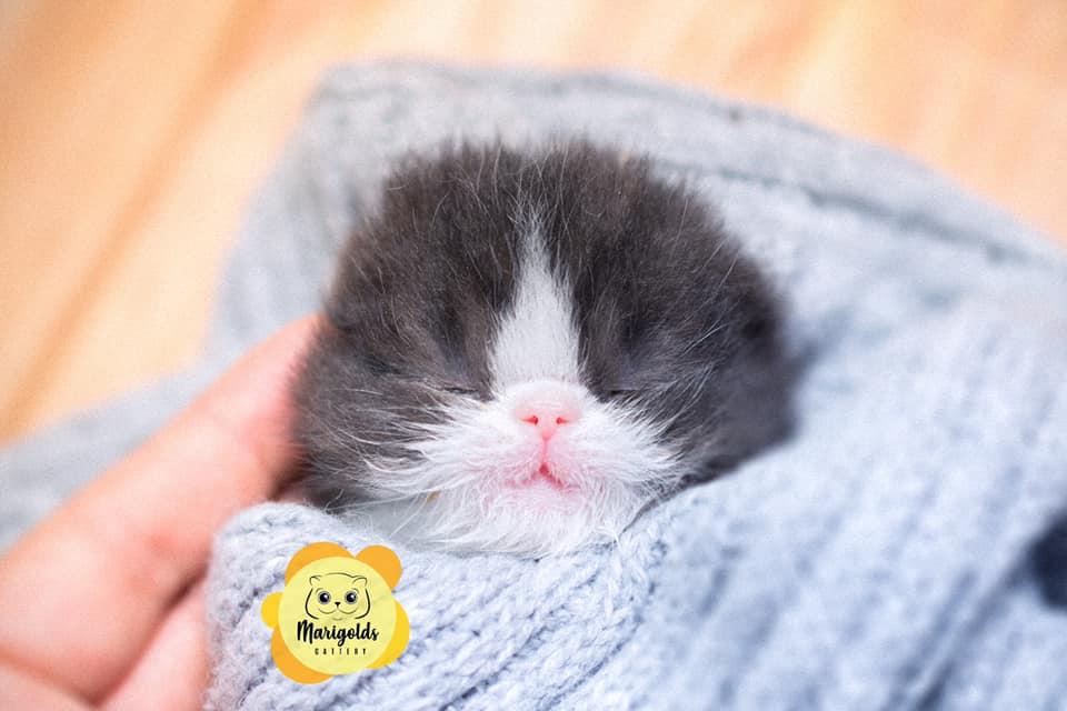 Marigolds Everest, gato persa, black/white, con sus ojitos cerrados