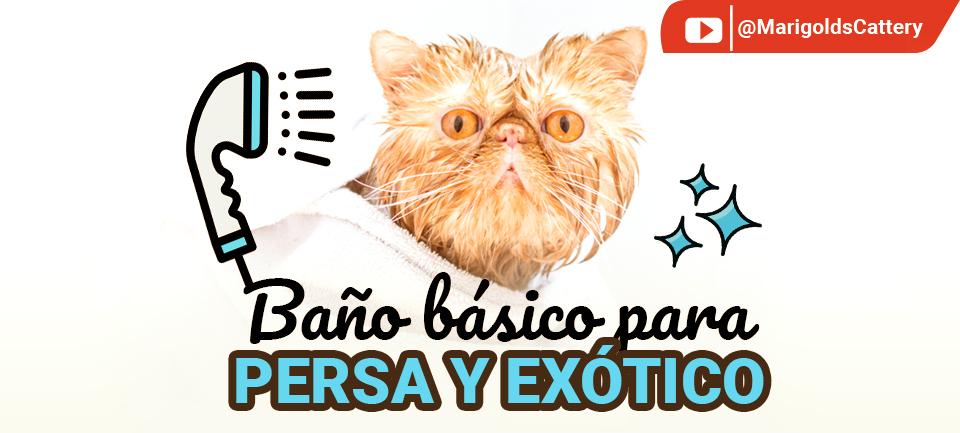 ¿Cómo bañar a un gato Persa y Exótico?